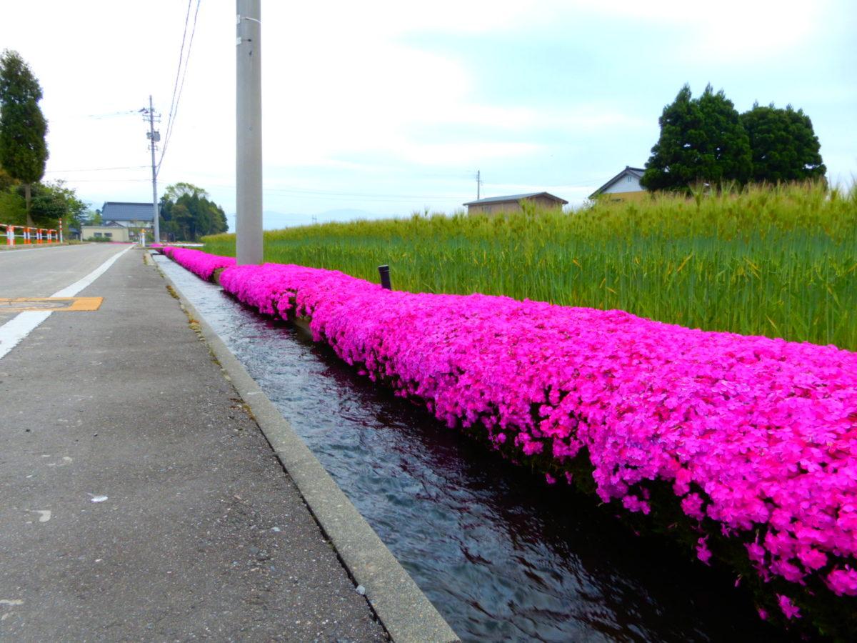 「芝桜の新屋敷」